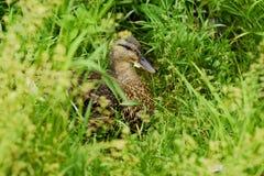在绿草景色的美丽的棕色鸭子 库存照片