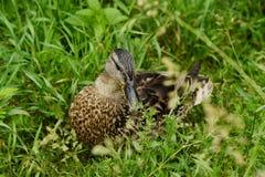 在绿草景色的美丽的棕色鸭子 图库摄影