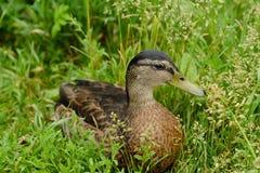 在绿草景色的美丽的棕色鸭子 免版税库存照片