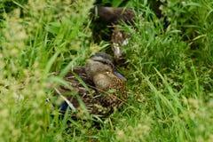 在绿草景色的美丽的棕色鸭子 免版税库存图片