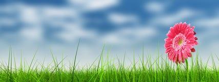 在绿草横幅的概念性桃红色花 免版税库存照片