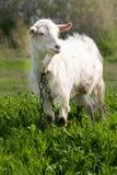 在绿草的一只白色山羊在领域 库存图片
