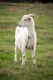 在绿草的一只白色山羊在领域 免版税库存图片