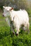在绿草的一只白色山羊在领域 图库摄影