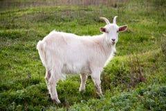 在绿草的一只白色山羊在领域 库存照片