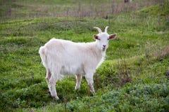 在绿草的一只白色山羊在领域 免版税图库摄影