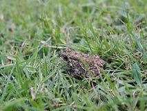 在绿草的一只蟾蜍 免版税图库摄影