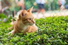 在绿草的一只黄色猫 免版税库存照片