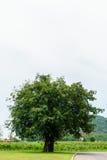 在绿草的一棵大树与白色天空 库存照片
