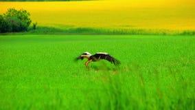 在绿草的一白色鹳 飞行在归档的白色鹳 股票视频