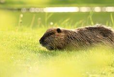 在绿草的一nutria 免版税库存照片