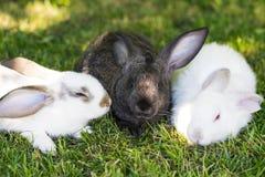 在绿草的三只兔子在农场 库存图片