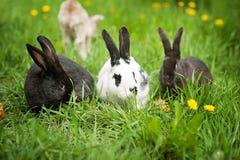 在绿草的三只兔子 免版税图库摄影