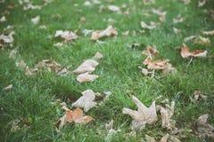 在绿草的下落的干燥叶子在与影片作用的秋天 免版税库存图片