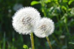 在绿草的两个白色夏天蒲公英 库存图片