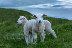 在绿草的两只逗人喜爱的羊羔 免版税库存照片