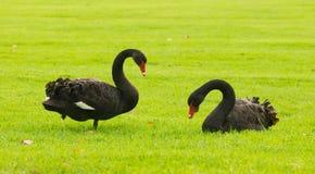 在绿草的两黑天鹅 免版税库存图片