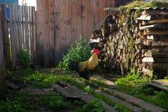 在绿草的公鸡 库存图片
