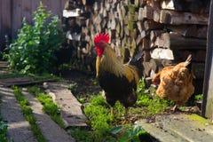 在绿草的公鸡 库存照片