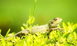 在绿草的变色蜥蜴 免版税库存图片