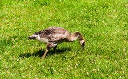 在绿草的唯一少年加拿大鹅 免版税图库摄影