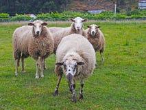 在绿草的四只逗人喜爱的绵羊 图库摄影
