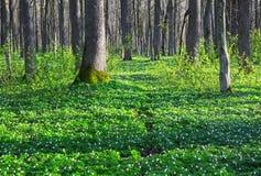 在绿草的在它附近的银莲花属和树 库存图片