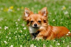 在绿草的奇瓦瓦狗狗 免版税库存图片