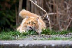 在绿草的姜逗人喜爱的猫 免版税库存照片