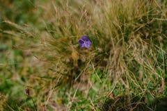 在绿草的小狂放的紫罗兰色花 免版税库存照片