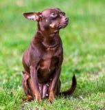 在绿草的小狗 免版税库存图片