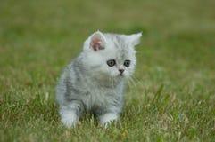在绿草的小猫 免版税库存图片