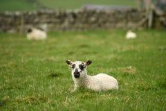 在绿草的小的羊羔 免版税库存照片