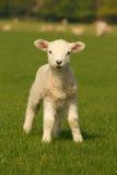 在绿草的小的羊羔 库存图片