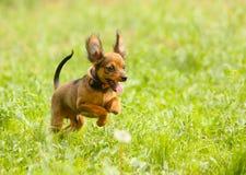 在绿草的小的活跃狗 跳跃小狗的红色户外 免版税图库摄影