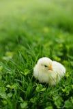 在绿草的小鸡 免版税库存照片