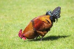 在绿草的布朗公鸡 库存图片