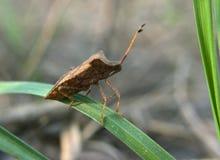 在绿草的布朗臭虫 库存图片