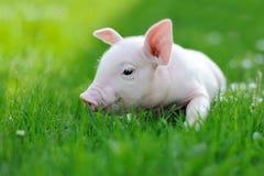 在绿草的幼小猪 免版税库存照片