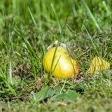 在绿草的意外收获苹果 免版税图库摄影