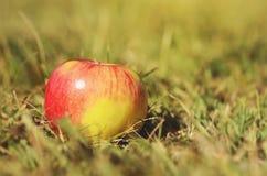 在绿草的成熟苹果 免版税库存照片