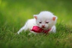 在绿草的新出生的白色小猫 库存图片