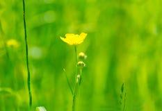 在绿草的明亮的毛茛 库存图片