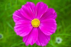 在绿草的明亮的紫色雏菊花 免版税图库摄影
