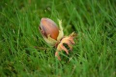 在绿草的榛子 免版税库存图片
