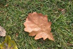 在绿草的橡木叶子 免版税库存图片