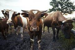 在绿草的母牛 免版税库存照片
