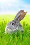 在绿草的灰色兔子在领域 免版税库存照片