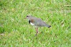 在绿草的灰色鸟 库存照片