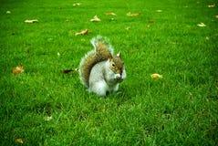 在绿草的灰鼠 免版税库存图片